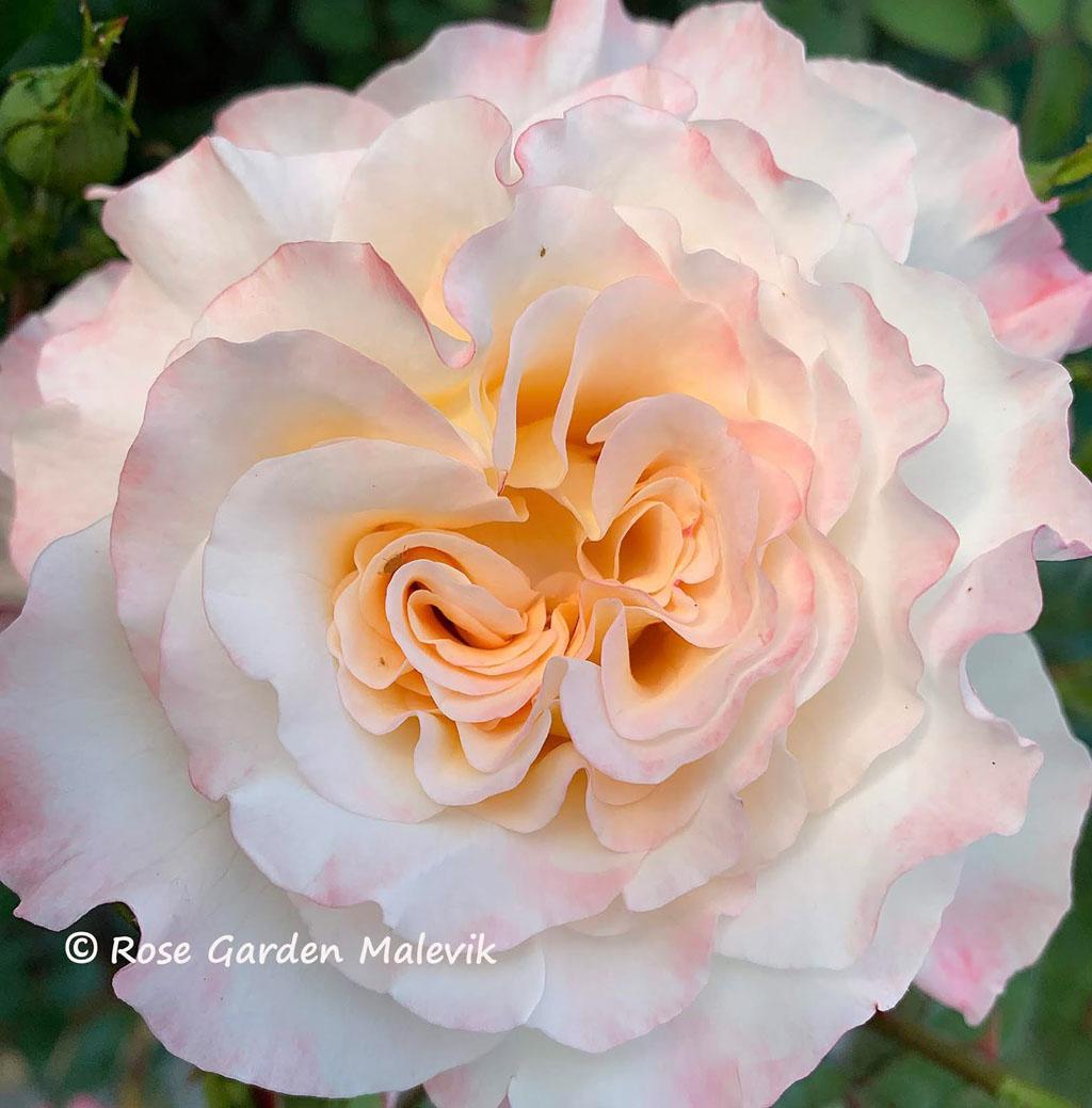 Aquarelle-Rose.jpg