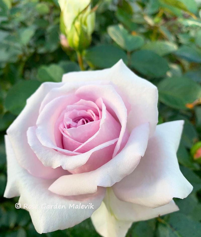 Bering-Renaicannse-rose.jpg